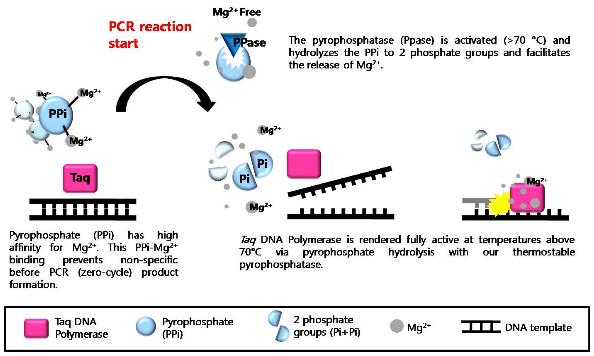 AccuPower PyroHotStart Taq PCR PreMix from Bioneer